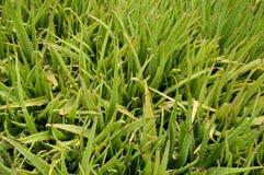 Plantas de Vera del áloe en jardín de la naturaleza Fotos de archivo libres de regalías