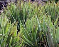 Plantas de Vera do aloés fotos de stock royalty free