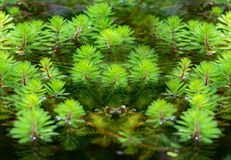Plantas de Watermilfoil em uma lagoa Fotografia de Stock Royalty Free