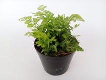 Plantas decorativas Fotografia de Stock Royalty Free