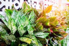 Plantas decorativas com folhas bonitas e madeira sagrado Imagens de Stock