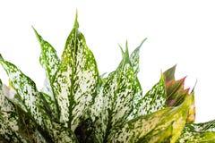 Plantas decorativas com folhas bonitas e madeira sagrado Fundo do isolado Fotos de Stock