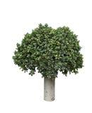 Plantas decorativas isoladas no fundo branco Imagem de Stock Royalty Free