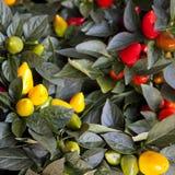 Plantas decorativas vermelhas do capsicum no potenciômetro vermelho Imagem de Stock Royalty Free