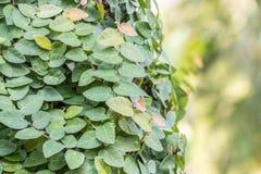 Plantas decorativas, videira do figo do rastejamento Fotos de Stock Royalty Free