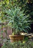 Plantas del áloe en crisol Fotografía de archivo