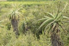 Plantas del áloe que crecen en el salvaje foto de archivo libre de regalías
