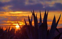 Plantas del agavo durante la salida del sol imagenes de archivo