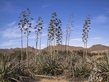 Plantas del agavo en AlmerÃa, España Foto de archivo libre de regalías