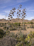 Plantas del agavo en Almería, España Imagen de archivo