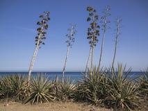 Plantas del agavo en Almería, España Imagen de archivo libre de regalías