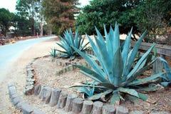 Plantas del agavo en la historia del museo de la irrigación, rey City, California Imagenes de archivo
