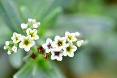 Plantas del Alyssum en el color blanco que tiene 5 pedales cada uno Fotografía de archivo libre de regalías