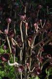 Plantas del arboreum del aeonium Imágenes de archivo libres de regalías