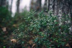 Plantas del bosque Arbusto de ar?ndano en el bosque imagenes de archivo