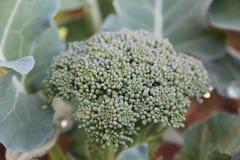 Plantas del bróculi Imagen de archivo libre de regalías