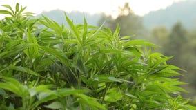 Plantas del cáñamo o de marijuana en granja al aire libre