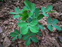 Plantas del cacahuete imagen de archivo