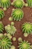 Plantas del cactus del árbol Fotografía de archivo