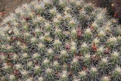 Plantas del cactus imágenes de archivo libres de regalías