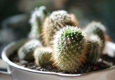 Plantas del cactus Fotografía de archivo