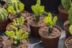 Plantas del cactus del bebé Imágenes de archivo libres de regalías
