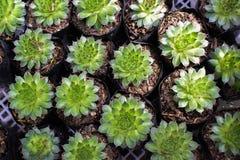 Plantas del cactus plantadas en cestas negras Imagen de archivo libre de regalías