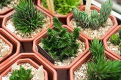 Plantas del cactus, viscosa del haworthia del foco selectivo Imagen de archivo libre de regalías