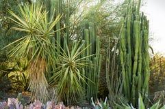 Plantas del cactus y de la yuca de la columna Imagen de archivo
