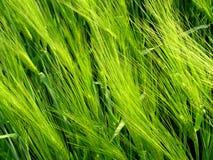 Plantas del campo del cereal Imagenes de archivo