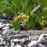 Plantas del Caribe Foto de archivo