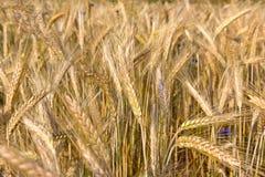 Plantas del cereal, Rye Imágenes de archivo libres de regalías