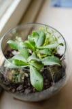 Plantas del Crassula en un pote de cristal Fotos de archivo