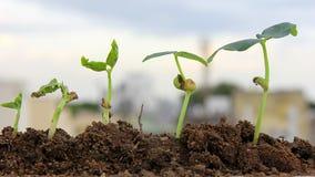 Plantas del crecimiento-bebé de la planta Imágenes de archivo libres de regalías