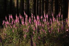 Plantas del Foxglove en el claro del bosque Imagen de archivo libre de regalías