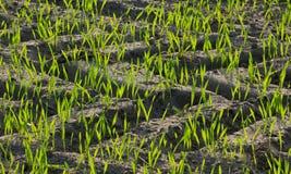 Plantas del grano Fotos de archivo