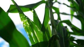Plantas del maíz del maíz verde en campo agrícola cultivado con los rayos del sol y la llamarada lista para silaging almacen de metraje de vídeo