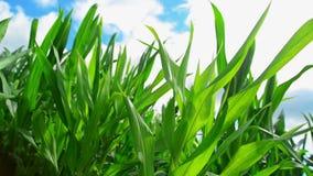 Plantas del maíz del maíz verde en campo agrícola cultivado con los rayos del sol y la llamarada lista para silaging almacen de video