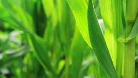 Plantas del maíz del maíz verde en el campo agrícola cultivado listo para el ensilaje metrajes