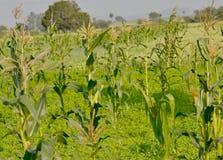 Plantas del maíz o de maíz y campo de la cosecha imagenes de archivo