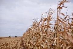 Plantas del maíz secadas que son cosechadas imagen de archivo