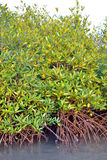 Plantas del mangle Fotos de archivo libres de regalías