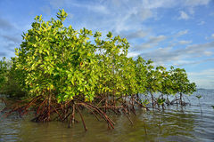 Plantas del mangle Fotografía de archivo