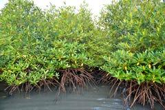 Plantas del mangle Foto de archivo