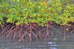 Plantas del mangle Foto de archivo libre de regalías