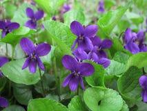 Plantas del odorata de la viola imagen de archivo libre de regalías