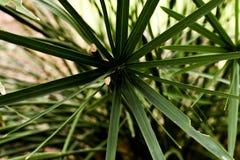 Plantas del papiro foto de archivo
