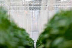 Plantas del paprika Que crecen dentro de un invernadero Foto de archivo
