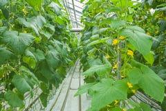 Plantas del pepino que crecen el invernadero interior Fotos de archivo libres de regalías