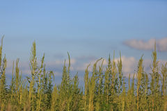 Plantas del Ragweed Foto de archivo